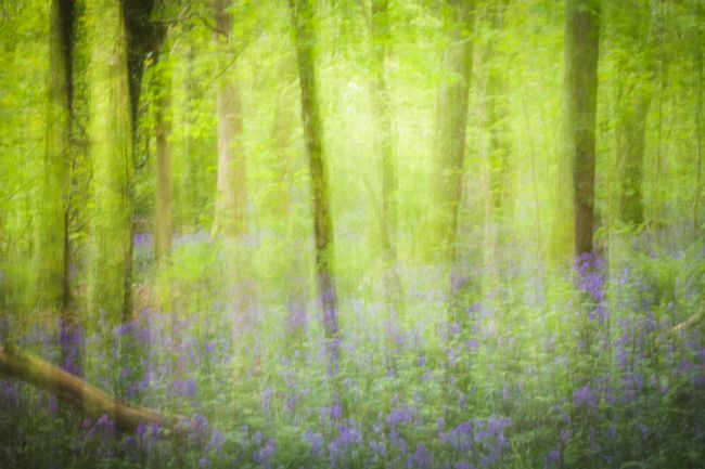 Heidi Stewart | Bluebell Wood