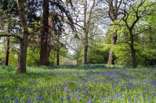 Colin Majury | Bluebells delight