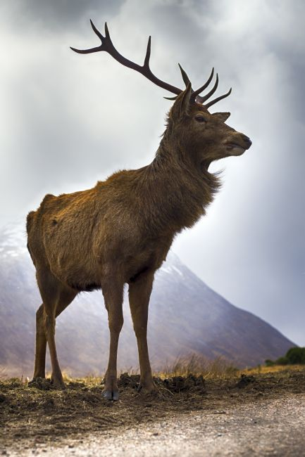 Alan Simpson | Glen Etive Stag