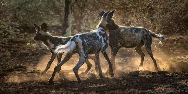 Roy Scrivener | African Wild Dog Pack