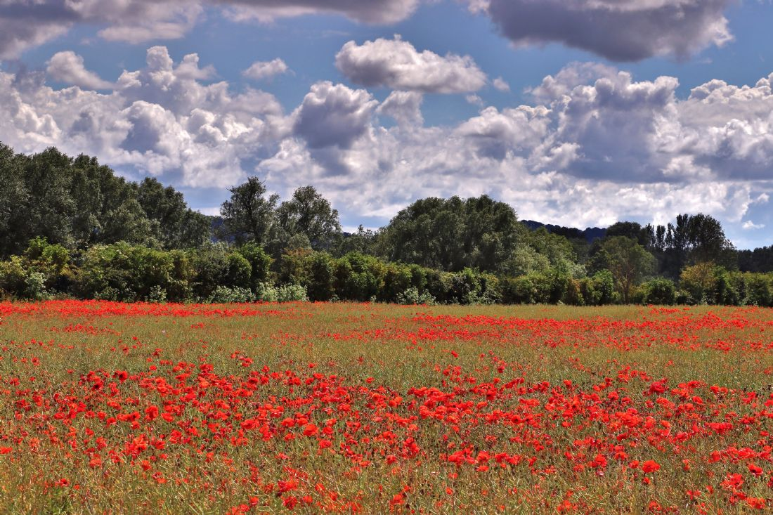 Susan Snow | Poppy Field in the Cotswolds