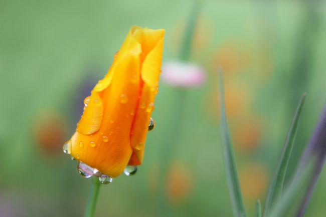 Susan Snow | Water Droplets on a California Poppy