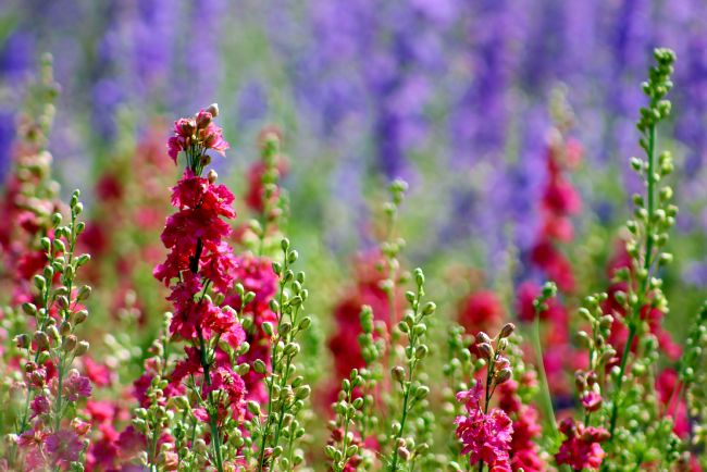 Susan Snow | Colourful Delphiniums