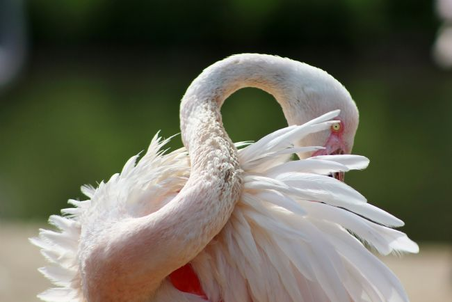 Susan Snow | A Resting Greater Flamingo