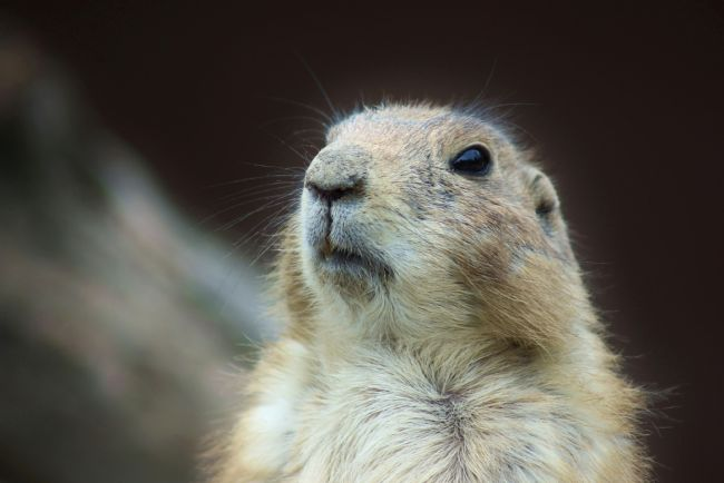 Susan Snow | Prairie Dog