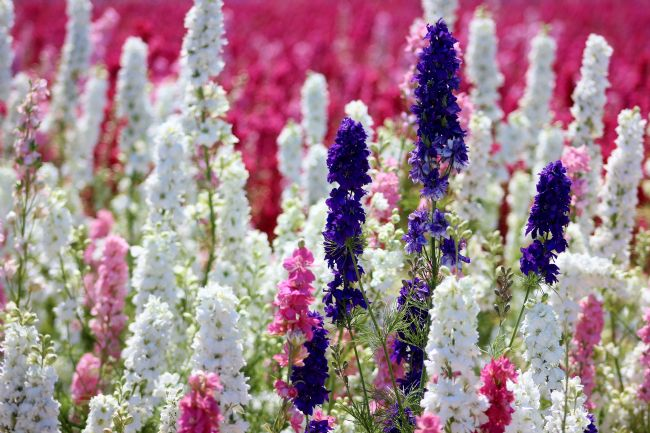 Susan Snow | A field of Delphiniums