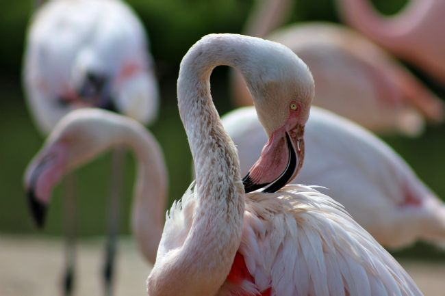 Susan Snow | Greater Flamingo