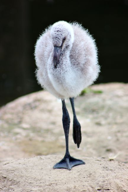 Susan Snow | Baby Chilean Flamingo