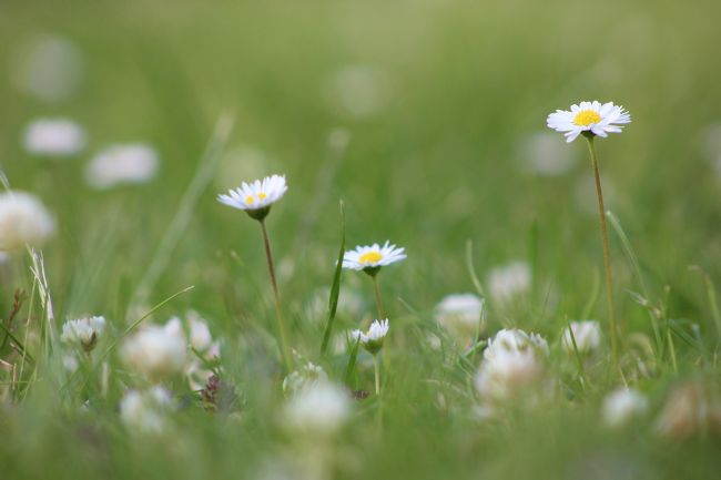 Susan Snow | A Garden full of Daisies