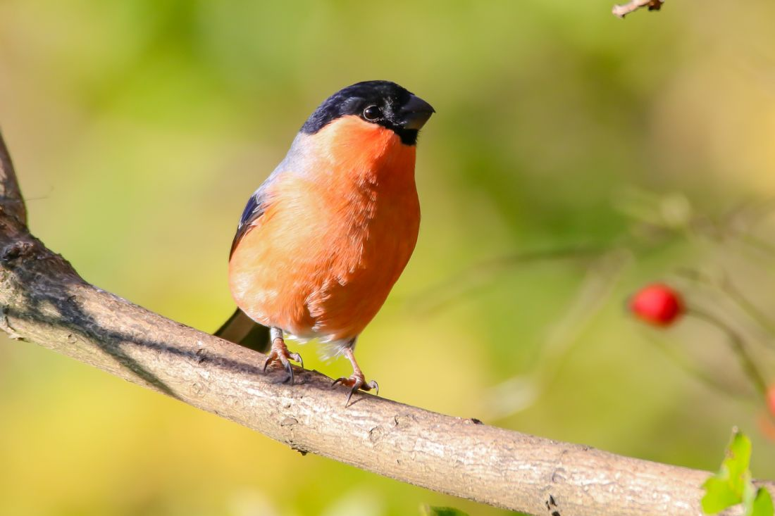 John Bath | Male Bullfinch