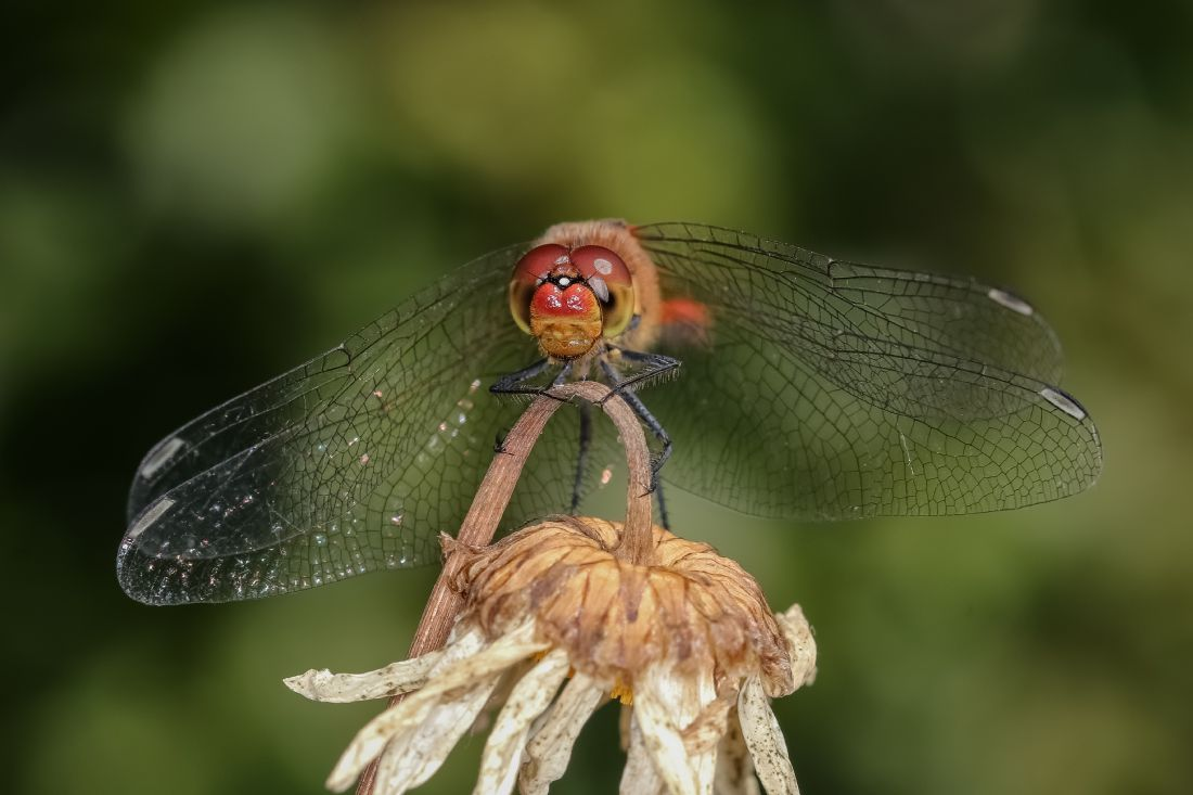 John Bath | Common Darter