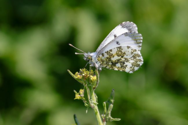 John Bath | Female Orange tip