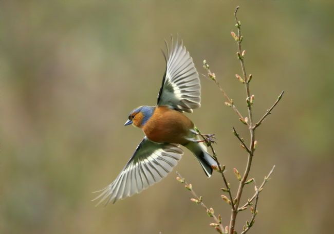 John Bath | Male Chaffinch