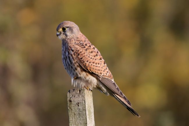 John Bath | Female Kestrel