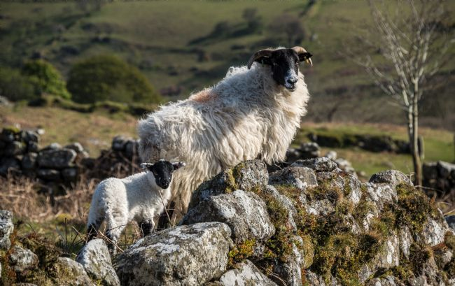 Jean Fry | Ewe and lamb on stone wall - Dartmoor