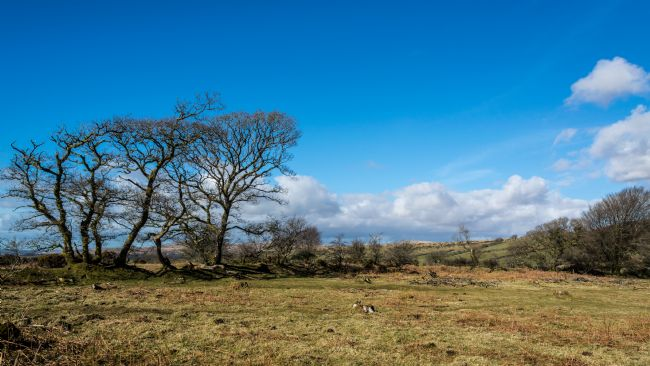 Jean Fry | Trees in Winter - Dartmoor