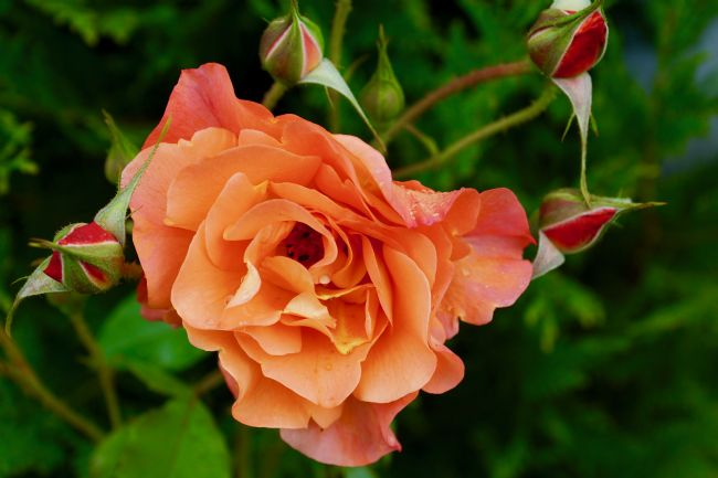 Penny Martin | Beautiful orange/peach rose