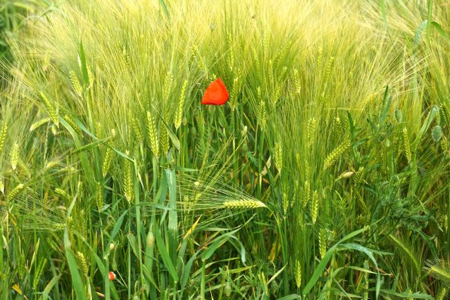 Penny Martin | Single Red Poppy amongst the field of corn
