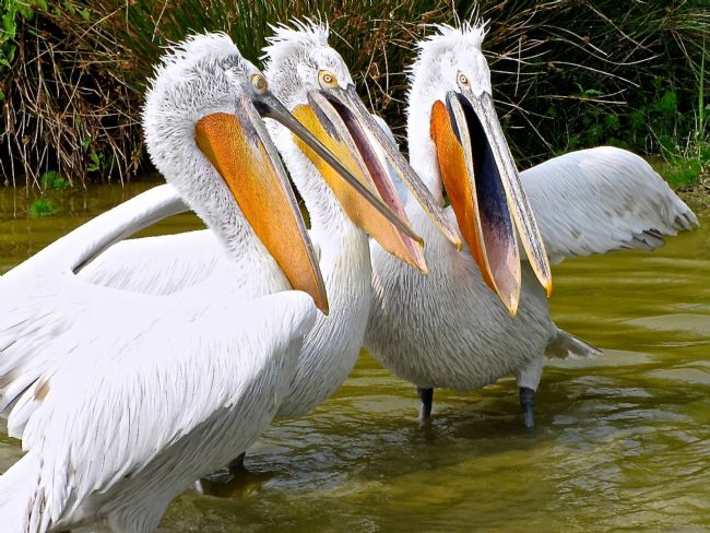 Penny Martin | The Three Tenors (Pelicans)