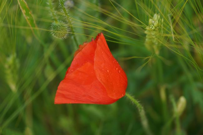 Penny Martin | The Lonely Poppy Amongst the Corn