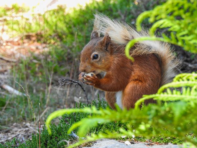John Ellis | Red Squirrel