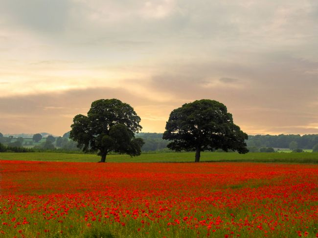 John Ellis | Sunset Poppies