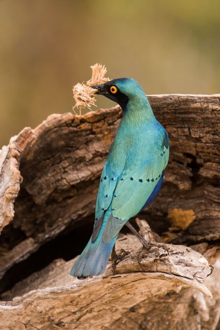 David McHutchison | Greater Blue-eared Glossy Starling