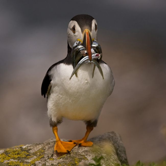 David McHutchison | Puffin with Sand Eels