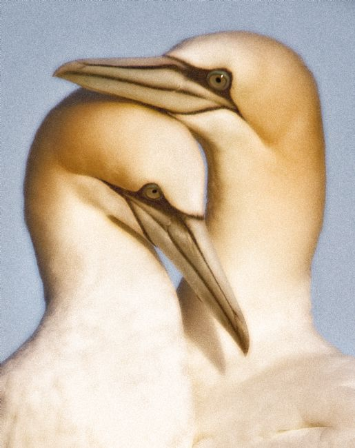 David McHutchison | Gannet Art