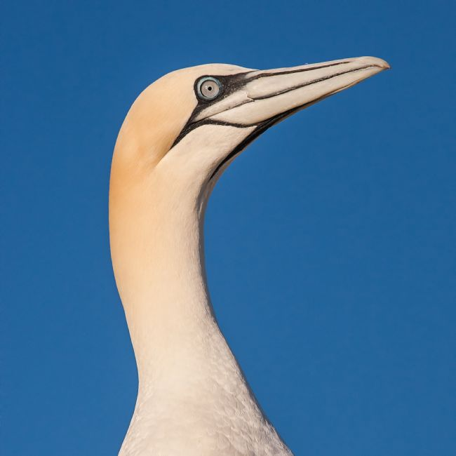 David McHutchison | Gannet Close-up