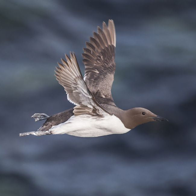 David McHutchison | Guillemot in Flight