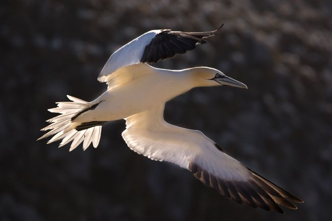 David McHutchison | Birds (Gannets)