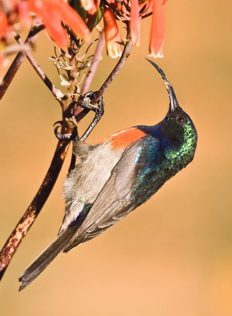 David McHutchison | Double-collared Sunbird