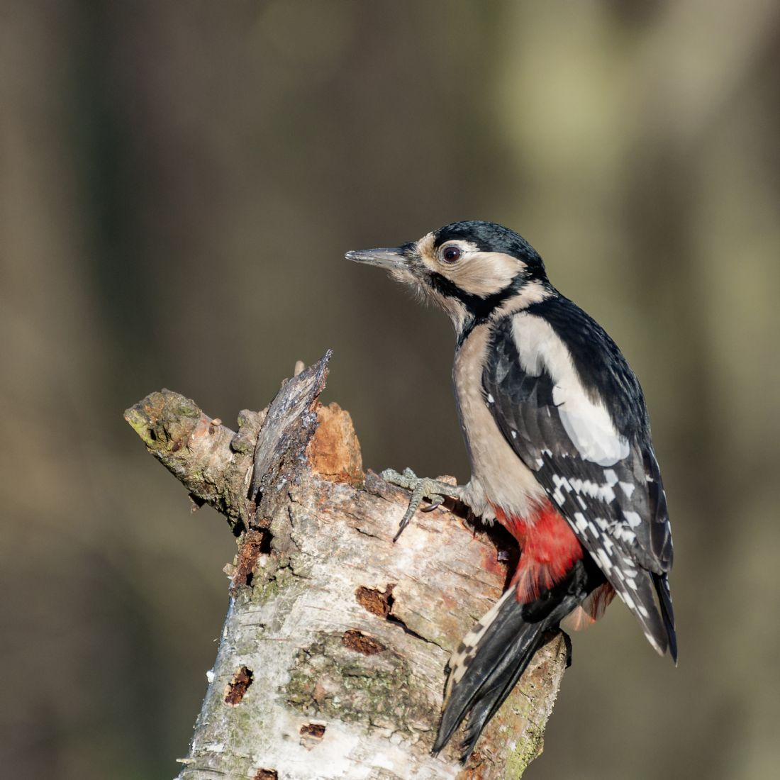 Pete Lawless | Greater Spotted Woodpecker