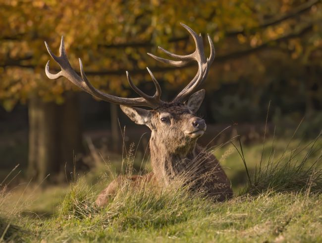 Pete Lawless | Red Deer Stag