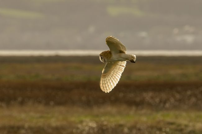 Pete Lawless | Barn Owl