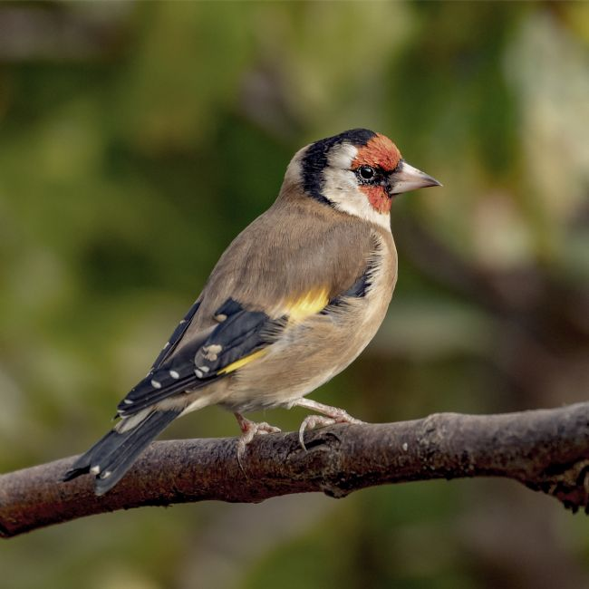 Pete Lawless | Goldfinch