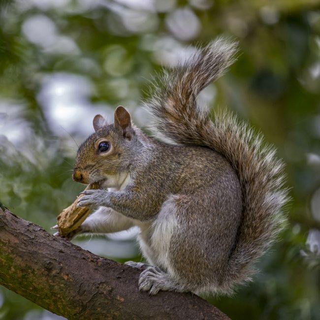Pete Lawless | Grey Squirrel