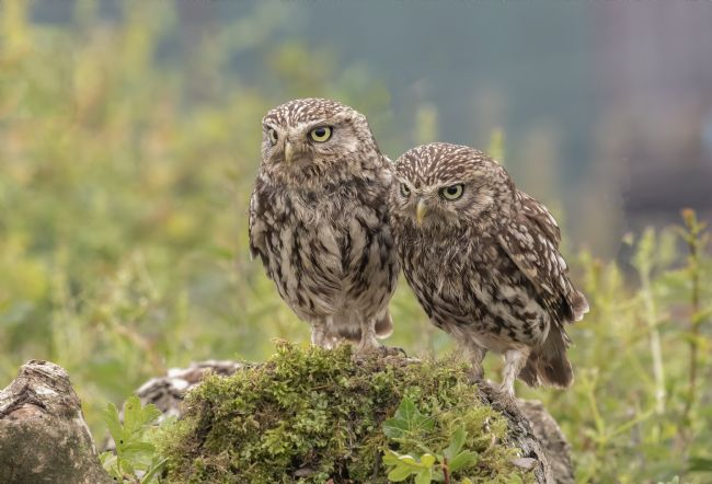 Pete Lawless | Mr and Mrs Little Owl