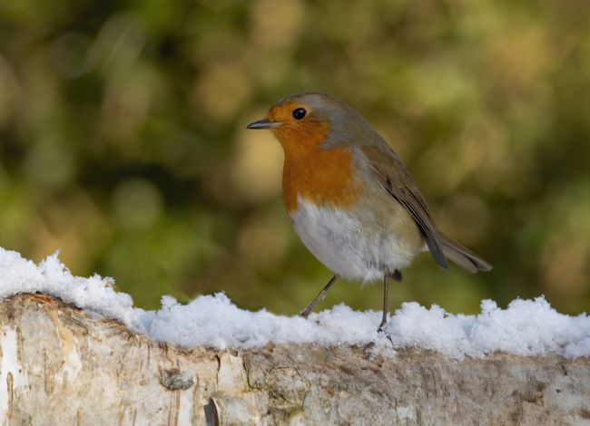 Pete Lawless | Winter Robin