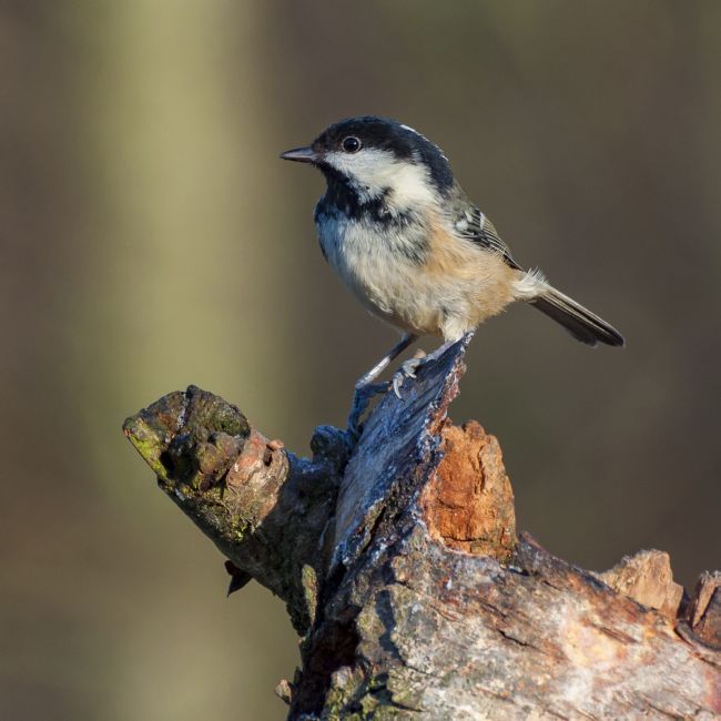 Pete Lawless | Coal Tit
