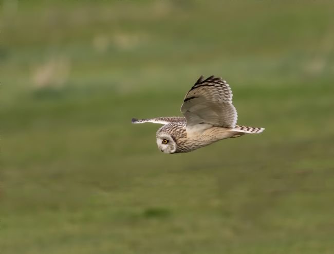 Pete Lawless | Short Eared Owl