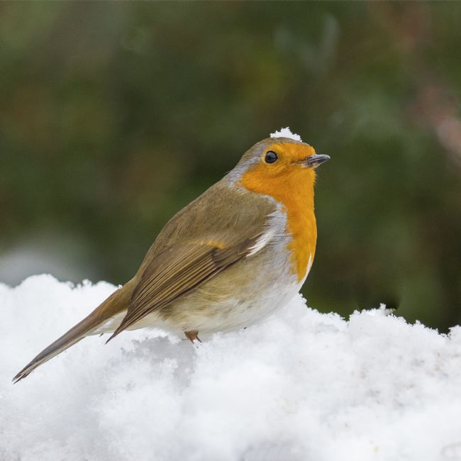 Pete Lawless | Christmas Robin