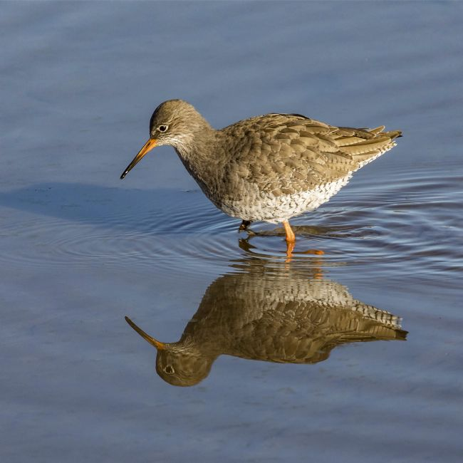 Pete Lawless | Redshank