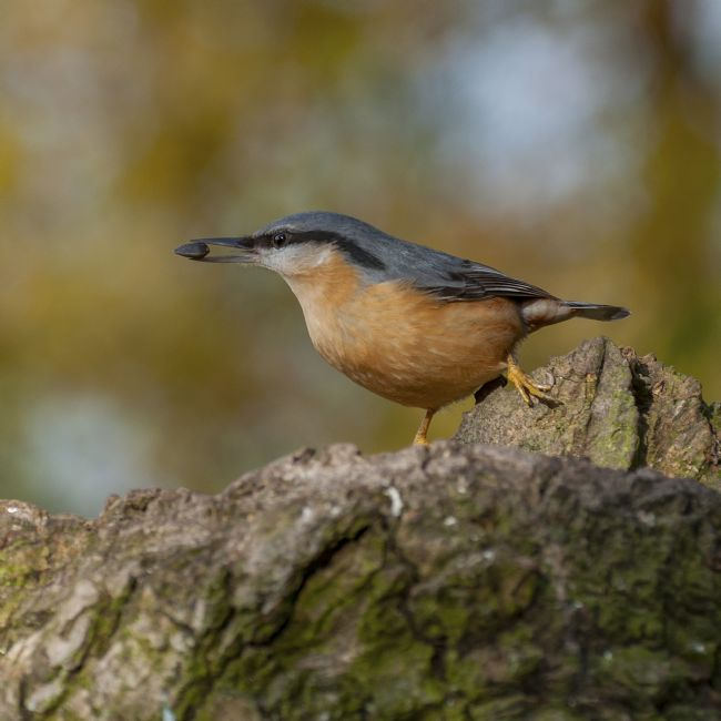 Pete Lawless | Nuthatch