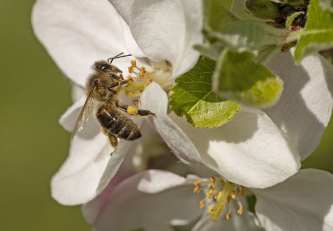 Pete Lawless | Honey Bee on Apple Blossom