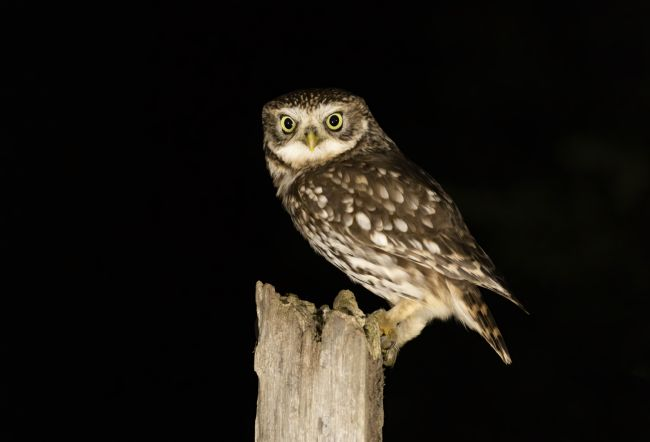 Pete Lawless | Night Owl (Little Owl)