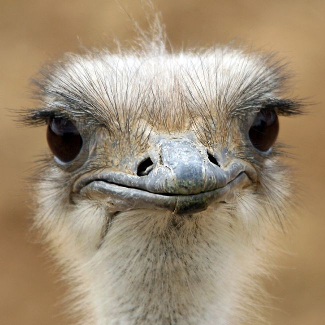 Howard Corlett | Ostrich