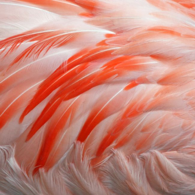 Howard Corlett | Flamingo Feathers