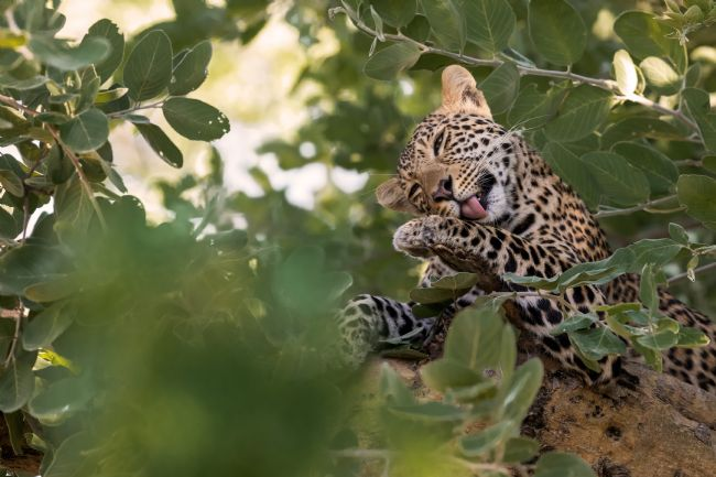 Thomas Retterath | Young Leopard